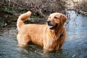 A happy, smiling golden retriever wading in a small stream with a wagging tail.